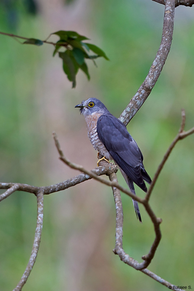 The Common Hawk-cuckoo is more commonly heard than seen, often calling at intervals throughout the night