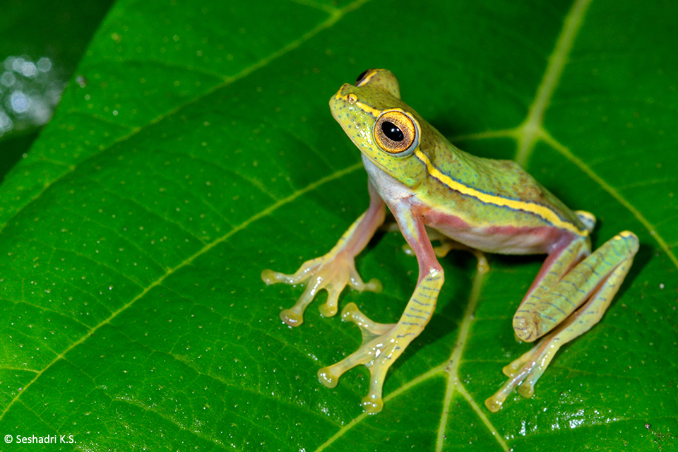 An adult male of the Small Gliding Frog, Rhacophorus lateralis