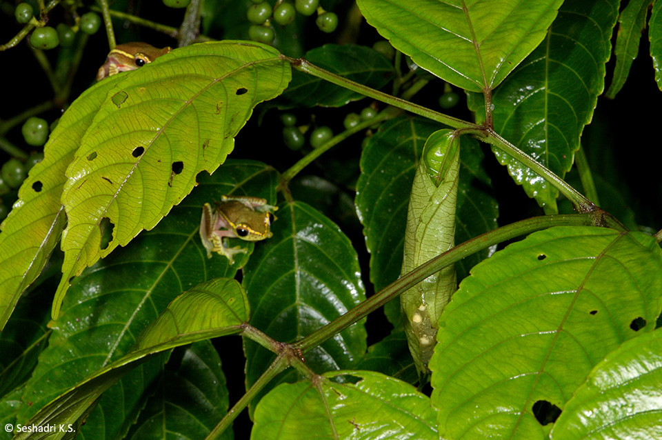 Two male frogs looking over a neatly executed leaf purse stocked with eggs