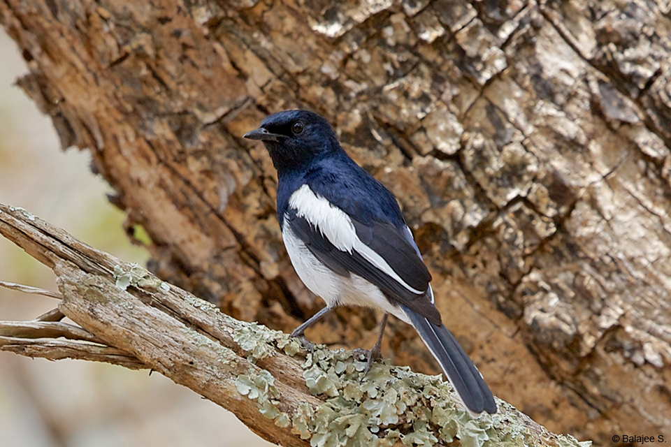 The Magpie Robin is an accomplished songster, often delivering its extended song with wild abandon.