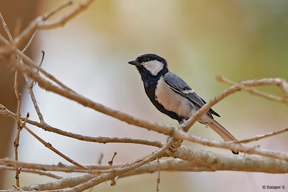 The Cinereous Tit is one of the most common birds in the place. Active and noisy, it is a delight to watch from the comfort of the Gol Ghar