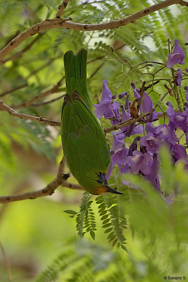 The Golden-fronted leaf bird can be very noisy at times, with a wide variety of calls and songs