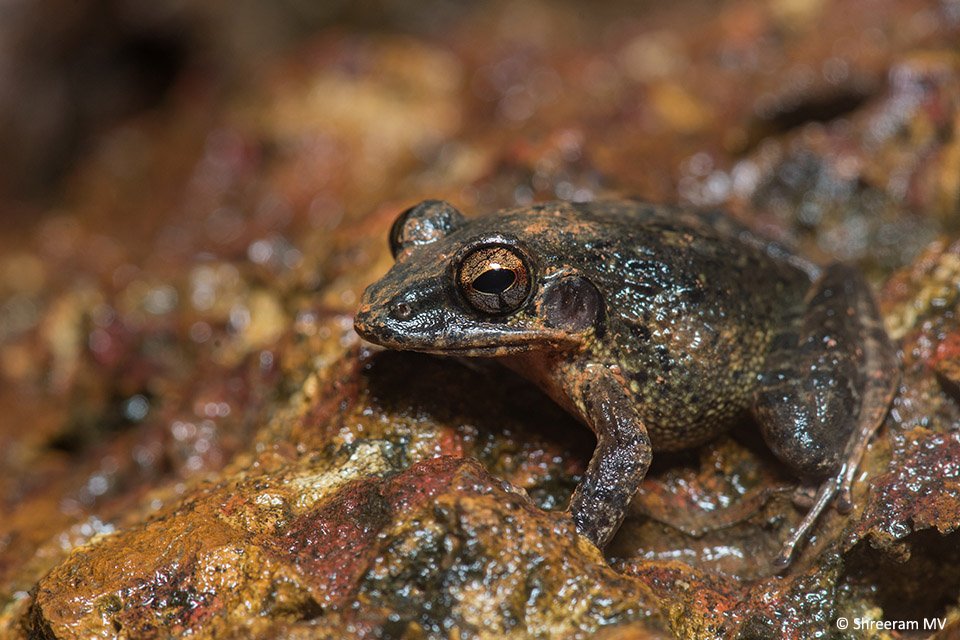 Males of the Brown Leaping Frog (Indirana semipalmata) were calling from all over the laterite blocks of the camp walls. A few female frogs, much larger in size, were also around, possibly evaluating the calls to choose a potential mate.