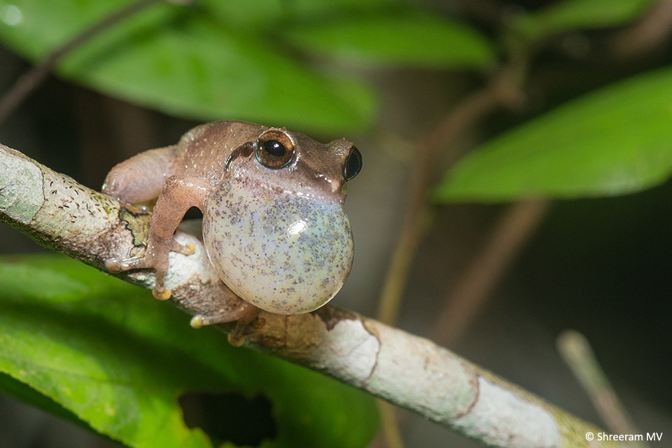 A male Amboli Bush Frog (Pseudophilautus amboli) calling to attract a mate. Its vocal sac helps amplify the sound.