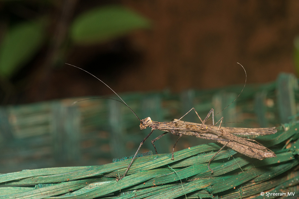 There was life everywhere in the camp, even in the waste basket. The odd shape of this Stick Insect initially had me baffled; a few moments later, I realised that it was a mating pair.