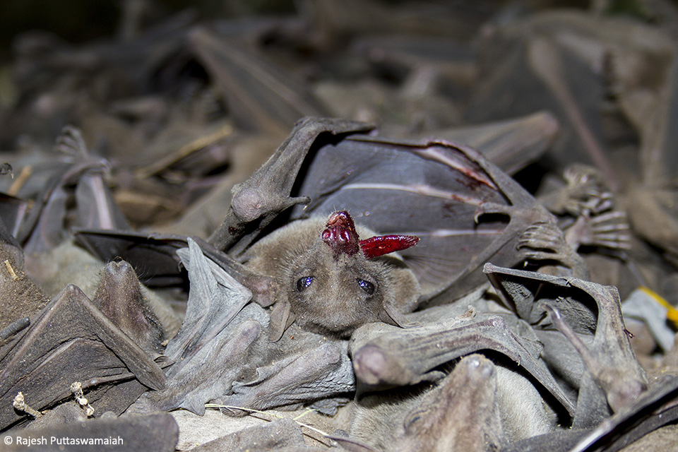 Bats are hunted across India, are consumed as delicacy, and are believed to have medicinal value.
