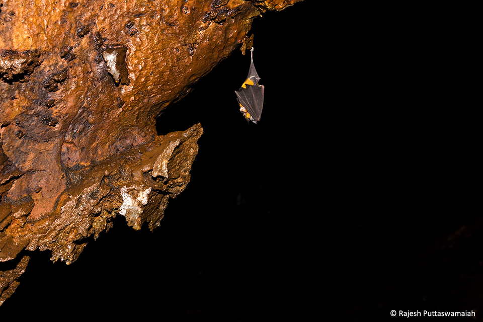 Bats are fascinating animals as they are the only mammals that have the ability to fly. A Least Horseshoe Bat (Rhinolophus pusillus) is found roosting solitarily in a large cave.