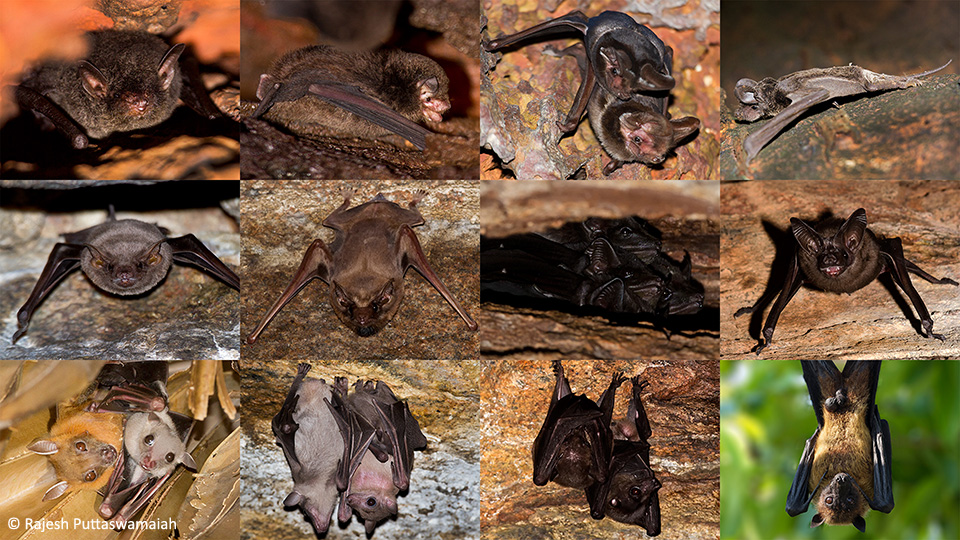 Bats in India constitute nearly about 30% of mammalian population and account for about 126 species. They do also come in various sizes and colors, unfortunately we have neglected to appreciate their beauty and uniqueness.