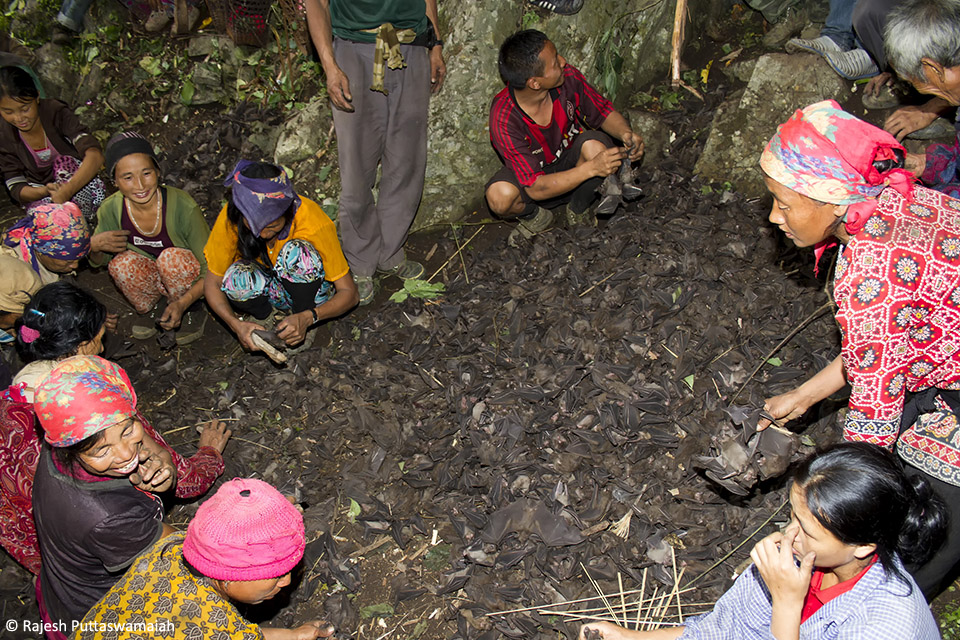 Bats being hunted in thousands by a tribe in Nagaland as part of annual ritual.