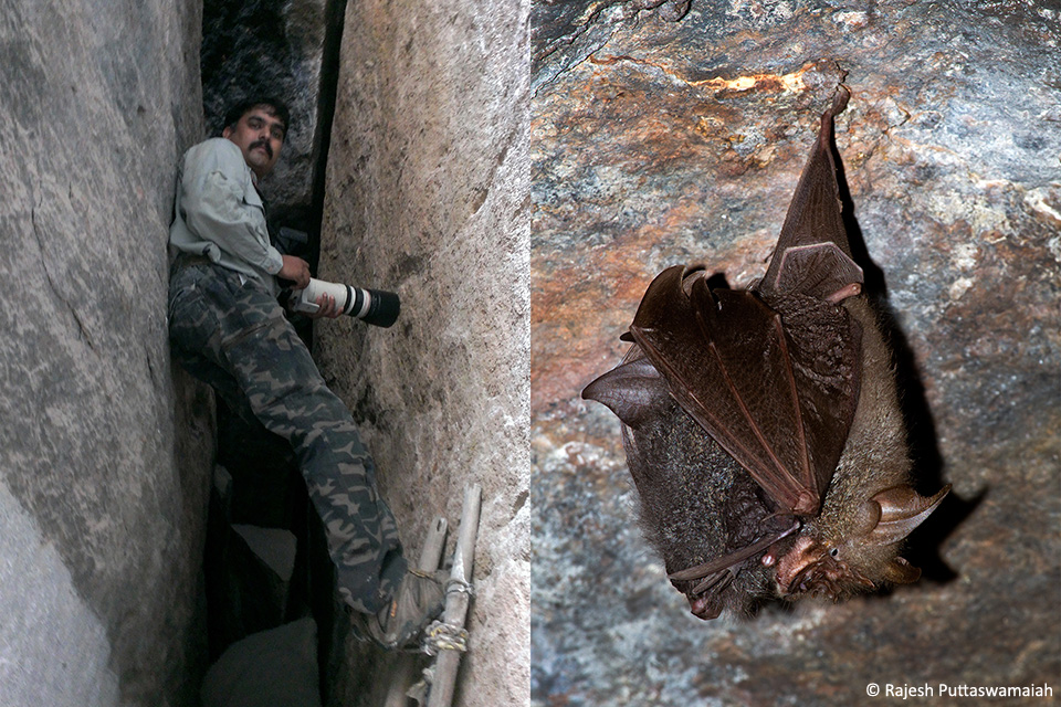 """Left: In order to get an eye level shot of a bat sometimes I have to climb. This is usually possible only in certain places like a rock slit (""""chimney"""" in a climbers parlance). Right: The mother bat with pup photographed after climbing up a bit."""