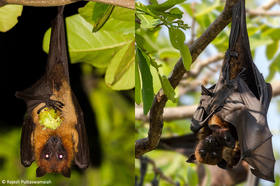 The Indian Flying Fox (Pteropus giganteus) is the largest of the bats found in the Indian sub continent. Left: A male is found feeding on false badam fruit. Right: The mother carries the pup on its belly until it is old enough to fly on its own.