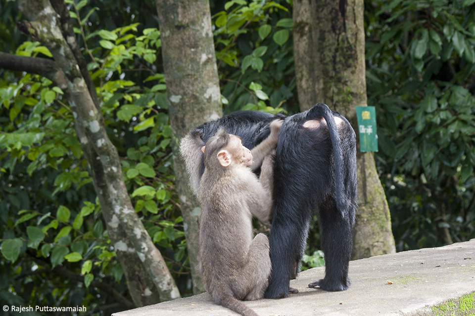 A male Lion-tailed Macaque being groomed by a sub adult male Bonnet Macaque displaying submissive behavior.