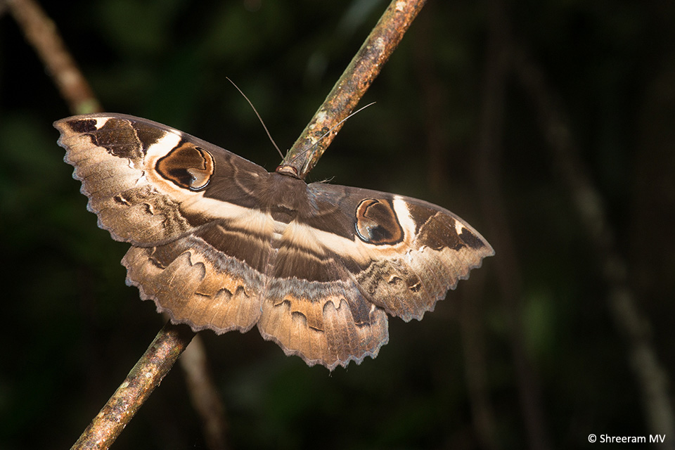 Moths of all shapes and sizes were about. The path lights were a great place to observe the diversity of moth species. This Owl Moth (Erebus ephesperis) was flying around, briefly perching on tree branches.