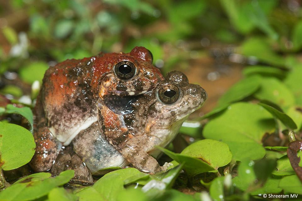 Granular Cricket Frogs in amplexus.