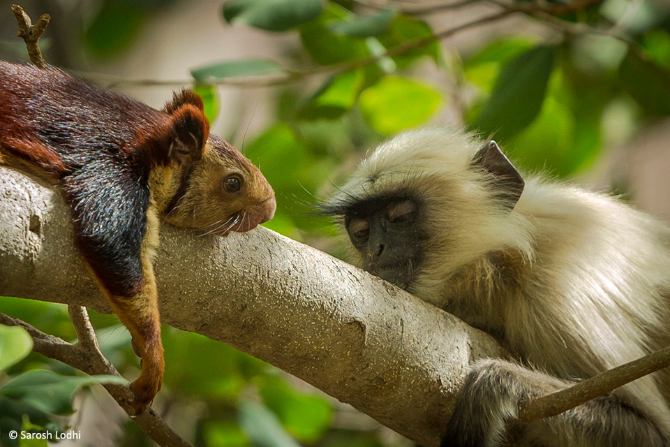 A giant squirrel and a langur