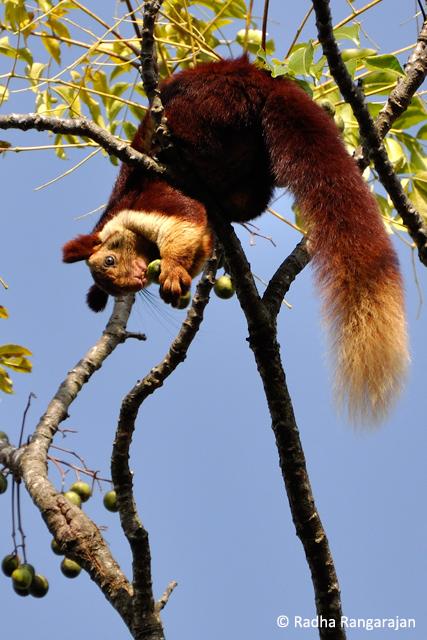 A Malabar Giant Squirrel feeding on Malabar Neem (melia dubia), found in the Western Ghats.