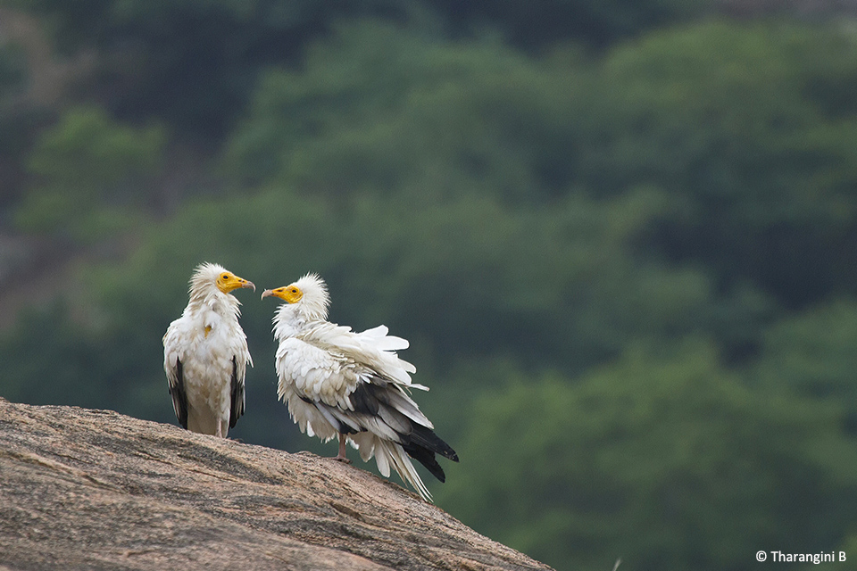 egyptian vulture drawing - photo #45