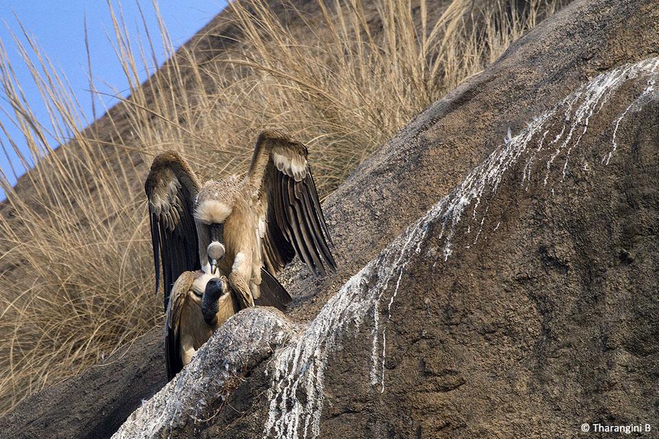Long-billed Vultures also mate for life, but the female lays only one egg which is incubated by both parents.