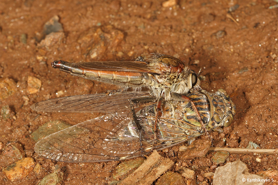 1-robberfly