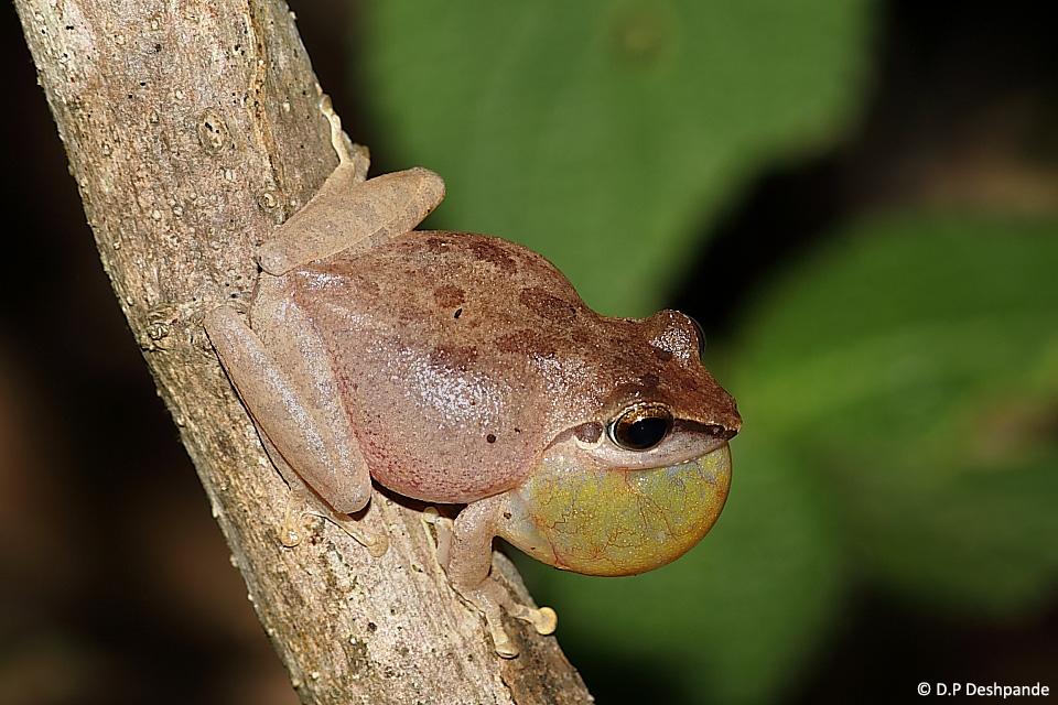 Pseudophilautus wynaadensis (Wayanad Bush Frog / Dark-eared Bush Frog), one of the arboreal frogs found in Castlerock.