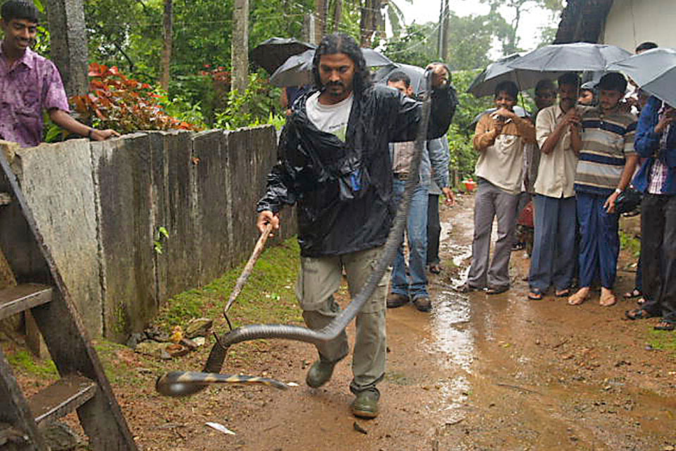 Removing a King Cobra from a home during peak monsoon