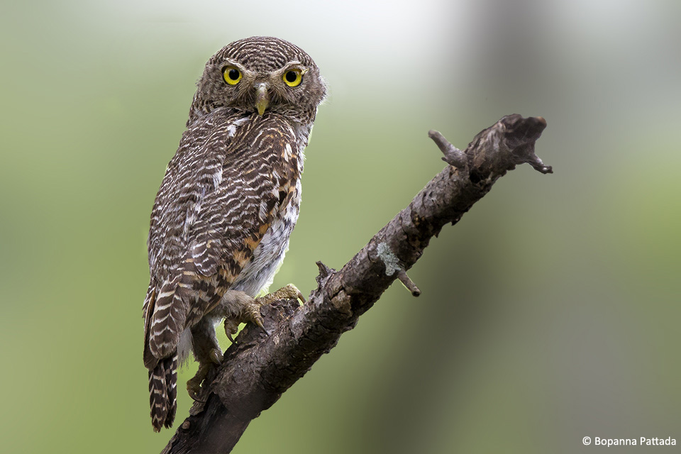 The Jungle Owlet is a diurnal bird and is a fierce predator. With its piercing gaze and strong barring, this tiny owlet is a great bird to see.