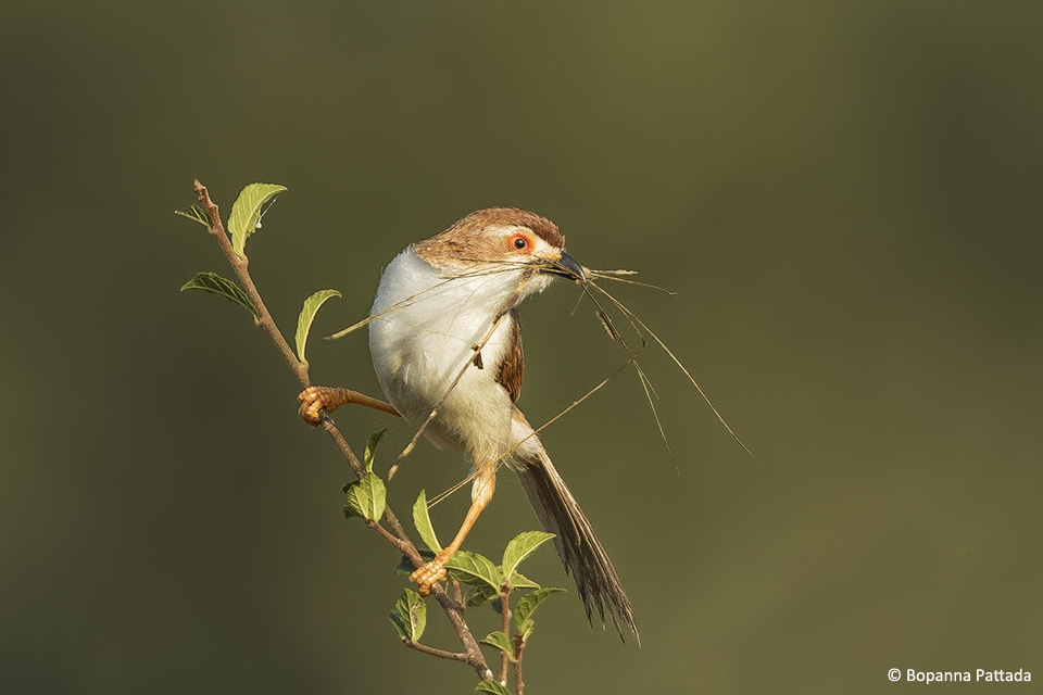 A Yellow-eyed Babbler gathers grass to build a nest.