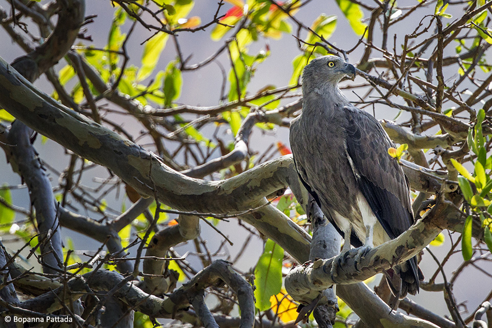 A Lesser Fish Eagle perched on a tree by the riverside,  looking out for unsuspecting fish to surface.
