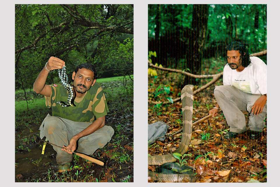 - Left: Releasing King Cobra hatchlings back into the wild. Right: Face to face with a King Cobra.