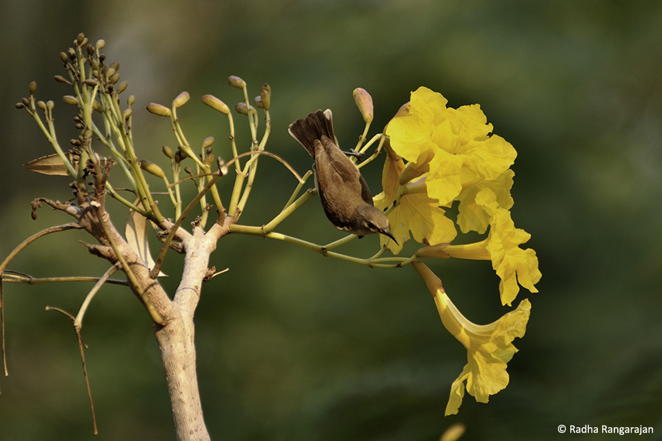 A female Purple-rumped Sunbird(Leptocomazeylonica) feasting on the nectar of Tree of Gold (Tabebuiaaurea)flowers