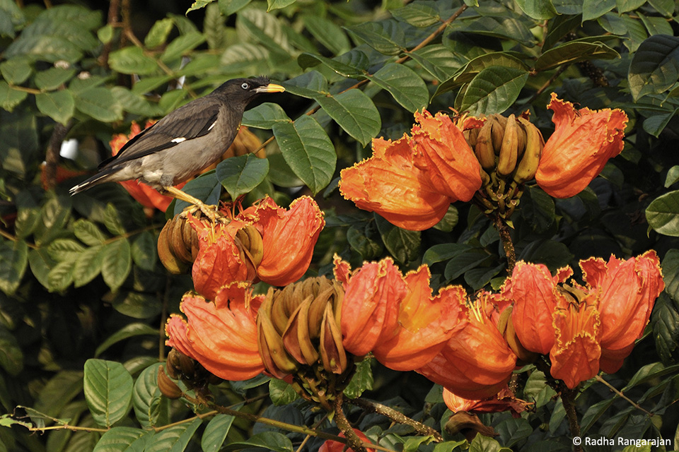 When in bloom, the African Tulip Tree (Spathodeacampanulata)attracts various birds, like this Jungle Myna (Acridotheresfuscus