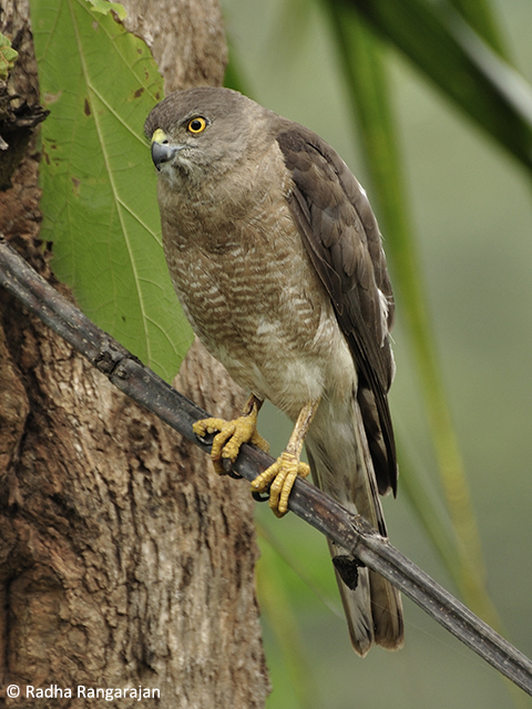 The friendly neighbourhoodShikra (Accipiter badius); females have a distinguishing yellow iris while the males have red irises.