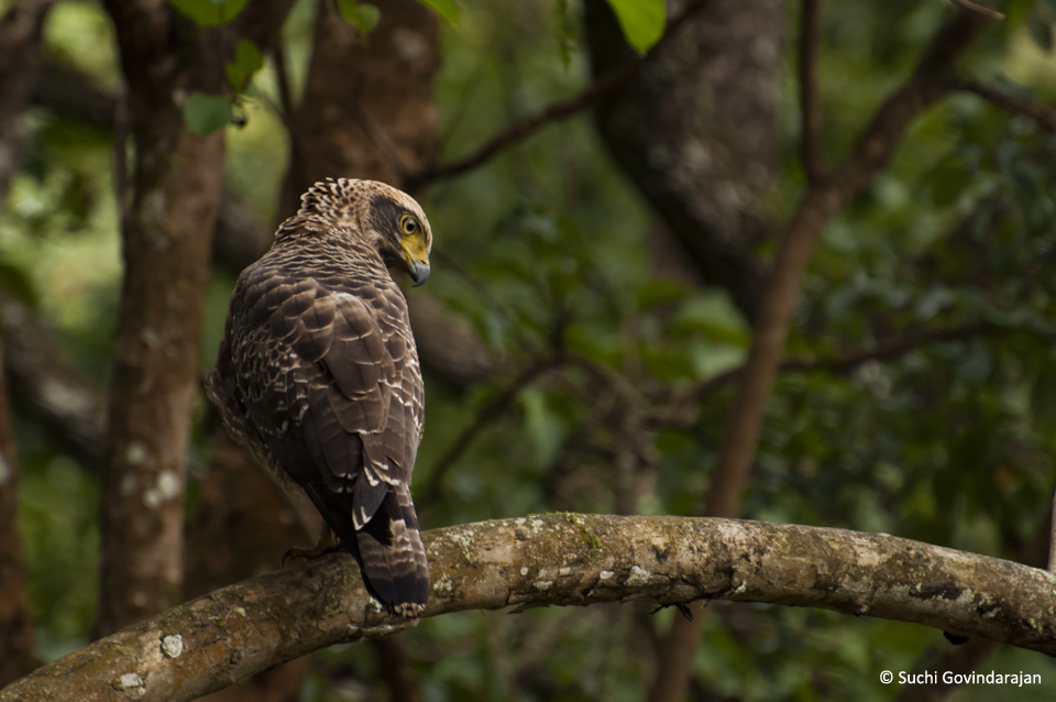 A juvenile Crested Serpent-eagle