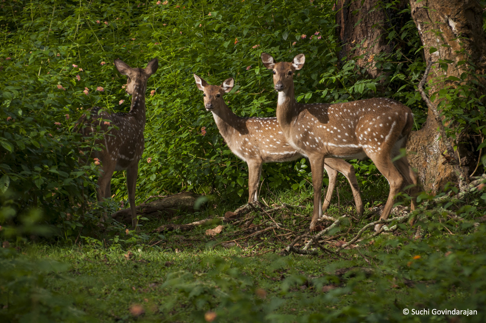 A herd of Spotted Deer