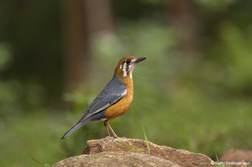 Orange-headed Rock Thrush, a songster commonly seen in the property